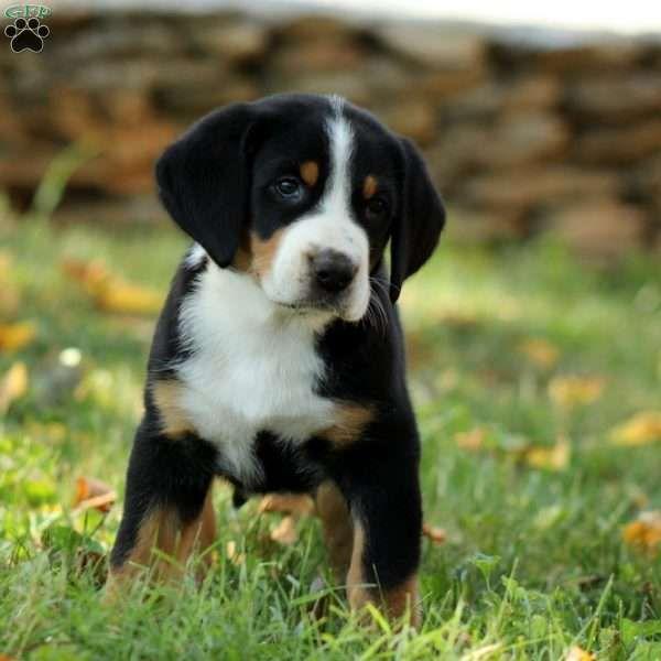 Appenzeller Sennenhund Mooie Honden Berghonden Honden