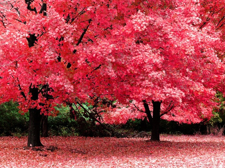<3<3: Favorite Places, Nature, Pink Trees, Autumn, Color, Beautiful, Wallpaper, Photo, Pretty