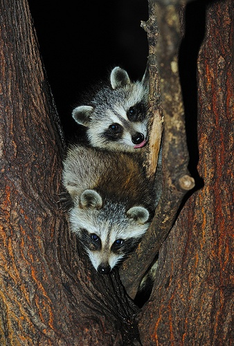 Baby Raccoons In Tree ~ when they're babies, they're very cute ~~~ but they're also very destructive. Must be careful not to feed or you ARE asking for a MESS of trouble...I KNOW