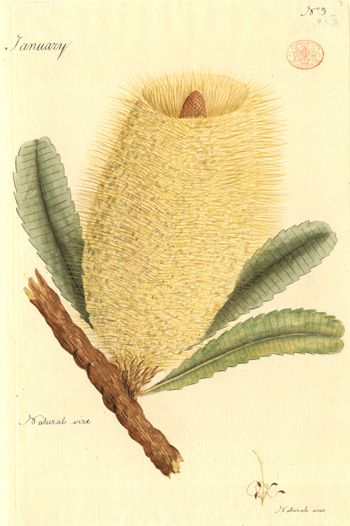 Port Jackson Painter ~ Watercolour, c1788 - 1797 ~ There are around 70 Australian species in the genus Banksia – named after Joseph Banks, the eminent naturalist. Banks had sailed to Australia with James Cook on the HMS Endeavour voyage (1770), and brought many plants back to Britain. Notes on the drawing record that it was made in January, and shows the flower at life size.