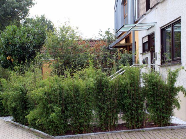 Fargesia 'Jiuzhaigou 1', auch als 'Roter Bambus' bekannt, ist ein sehr winterharter und aufrecht wachsender Bambus. Er wurde im Jahre 2005 zum Bambus des Jahres gewählt. Er erreicht als Einzelpflanze eine Höhe von ca. drei bis 3,5 m. Bei...