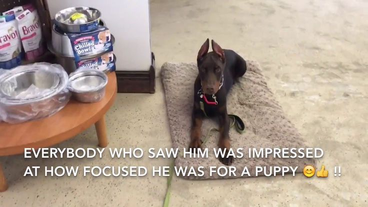 DOBERMAN PUPPY - Four months old amazing obedience!!