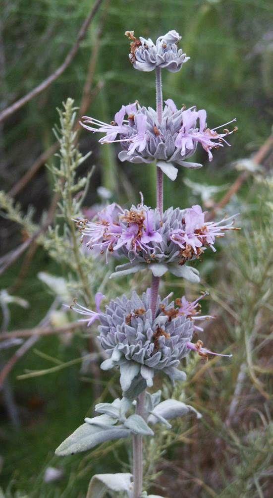 Purple Sage (Salvia leucophylla)   California native ...