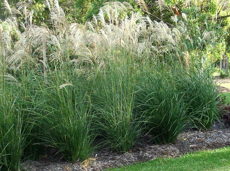 Botanical name miscanthus sinensis gracillimus common for Common ornamental grasses