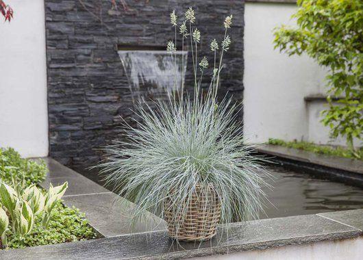 Festuca er en robust og dekorativ staude og kommer i salg tidlig på våren.