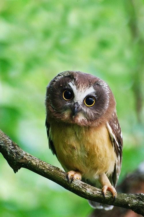 Northern Saw-wheat Owl fledgling  so freaking cute!! My 3rd old daughter gives me these eyes and I buckle. ..everytime.