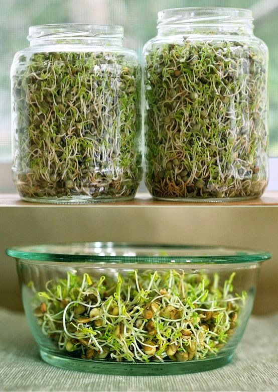 72 best SproutsMicrogreens images on Pinterest Sprouts