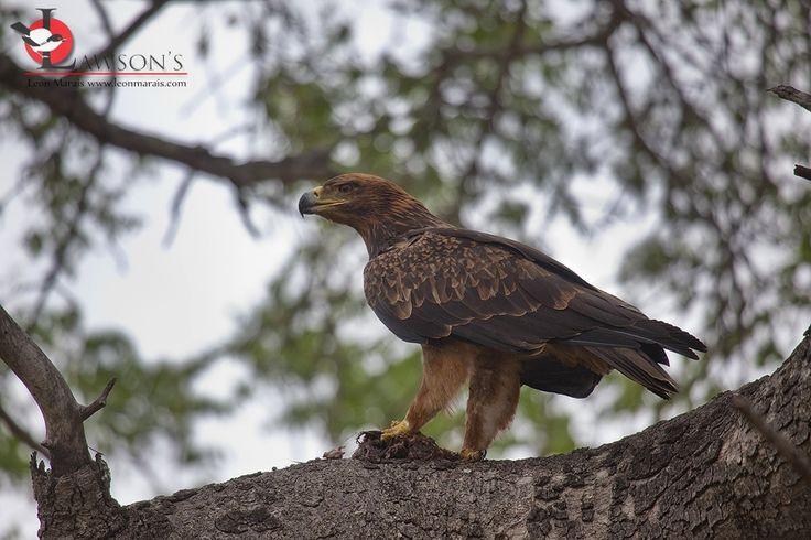 Tawny Eagle scavenging on a Leopard kill, #Kruger, #birding, #safari