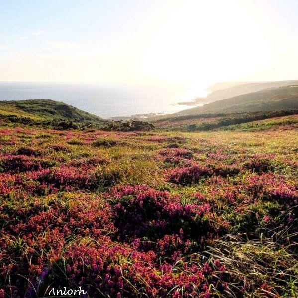 Quand la lande se pare de ses couleurs d'été!,,, @Anlorh | Twitter #Cotentin #CestBeauLaManche #Normandie #France