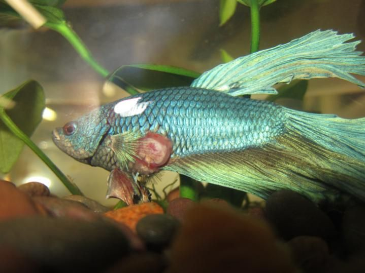 Image gallery sick betta for Fish ick treatment