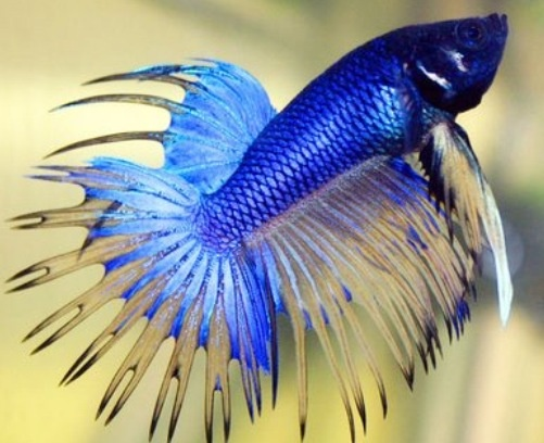 Weird looking fish tropical fish pinterest fish for Betta fish names male blue