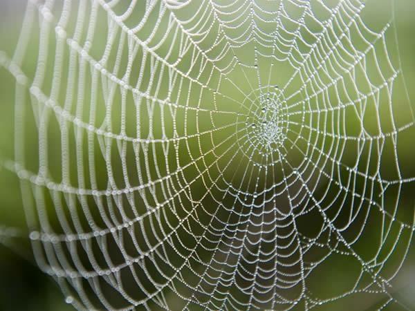 de groene wereld    Spinrag is elastisch en taai. De veerkracht ervan is zelfs tot 5 maal sterker dan die van een stalen draad van gelijke dikte. Wetenschappers proberen spinrag na te bootsen in de hoop het te kunnen gebruiken in kogelvrije vesten, superlichte kabels voor bruggen etc. Maar spinrag is ook heel sterk. Een spindraad met de straal van 3 cm zou zelfs een Boeing 747 in volle vlucht zou kunnen stoppen. Al en geluk dat spinnen geen vliegtuigen lusten.