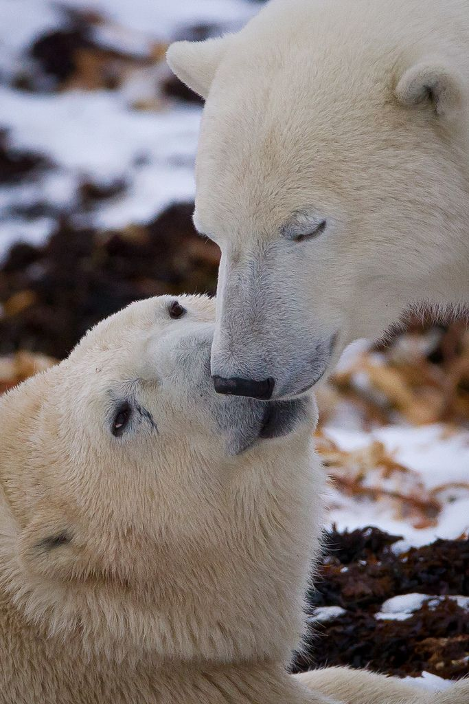 Your face needs my kisses... Polar Bear #Animal #Humor