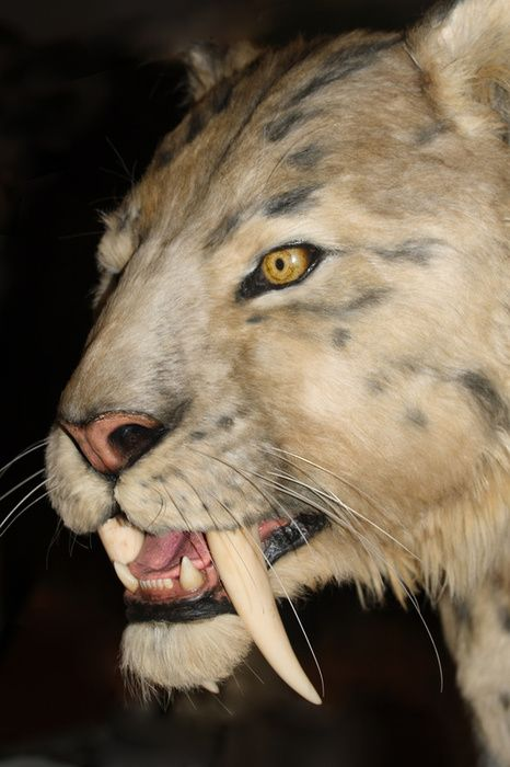 saber tooth tiger | sabre-tooth tiger - photo/picture definition - sabre-tooth tiger word ...
