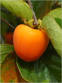 Fruit and Vegetable Database : Date Plums Nutrition, Storage, Selection, Preparation: Benefits to Health : Fruits And Veggies More Matters.org