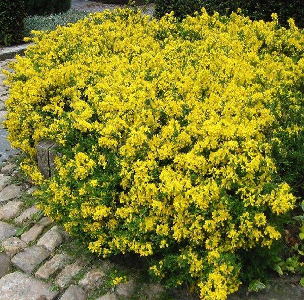les 25 meilleures id es de la cat gorie arbuste a fleur jaune sur pinterest arbuste fleur. Black Bedroom Furniture Sets. Home Design Ideas