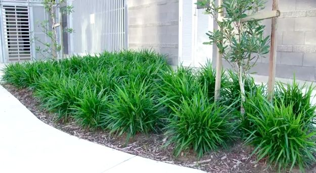 Little jess dianella is a tough low maintenance plant for Plants that need little maintenance