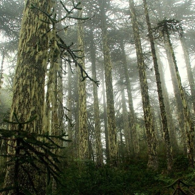 Bosque de Araucarias en Parque Nacional Huerquehue, Región de La Araucanía.