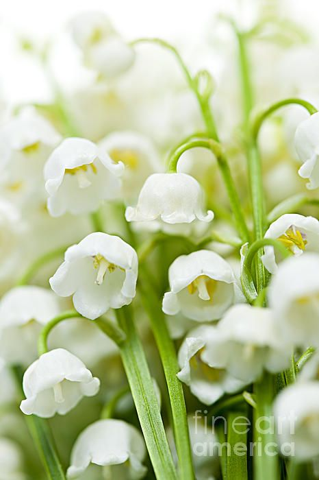 Lily-of-the-valley flowers fine art photography print - Copyright © Elena Elisseeva