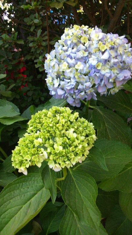 Hortensia lila