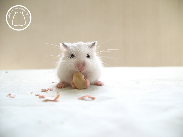 These little guys are so sweet and never get bigger than a small mouse.  Robo Hamsters