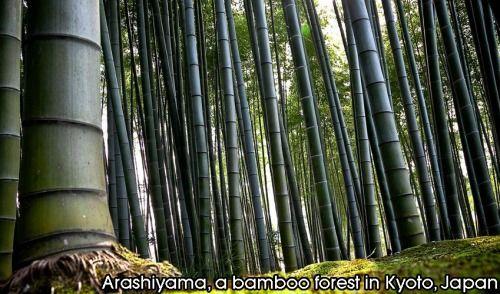Arashiyama, a bamboo forest in Kyoto, Japan