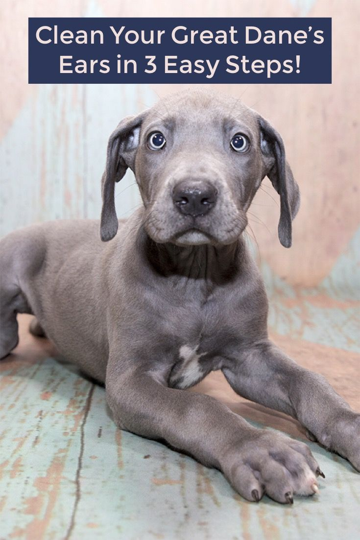 3 Effortless Steps To Clean Your Great Danes Ears At Home Great