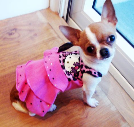 hello kitty dogs dress | ... Chihuahua shows off her Ruffle Kitty Lilydress by Hello Kitty