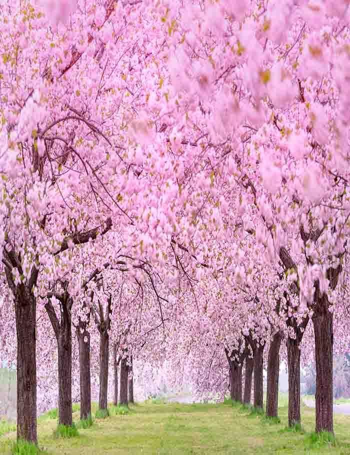 Blooming Cherry Flower Tree Beside Road Photography Backdrop J 0354 Blossom Trees Flowering Trees Cherry Blossom Tree