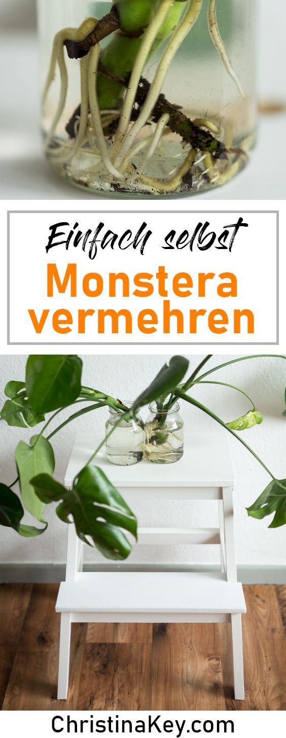 Monstera multiplizieren leicht gemacht! Mit wertvollen Pflanzentipps für die schöne …   – Geniale Hacks | Lifehacks, Tipps + Tricks