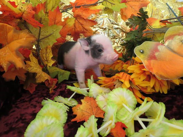 teacup pigs for sale in canada