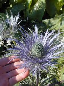 thistle plants plant zone - Bing Images
