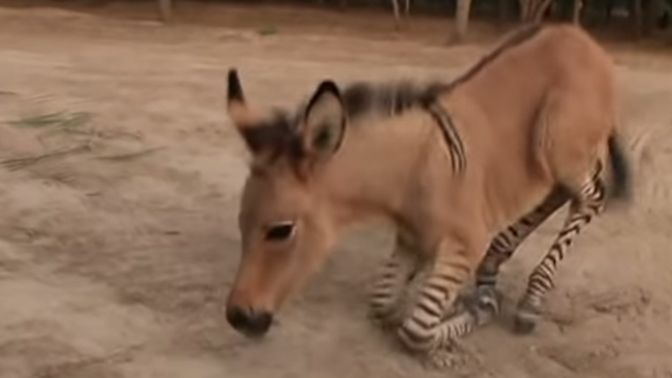 Baby Zonkey Born At Mexico Zoo