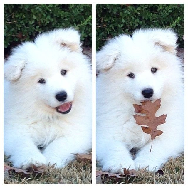pomeranian samoyed mix 17 best images about puppies i want 3238