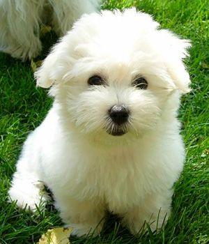Coton De Tulear breed ... I want one!