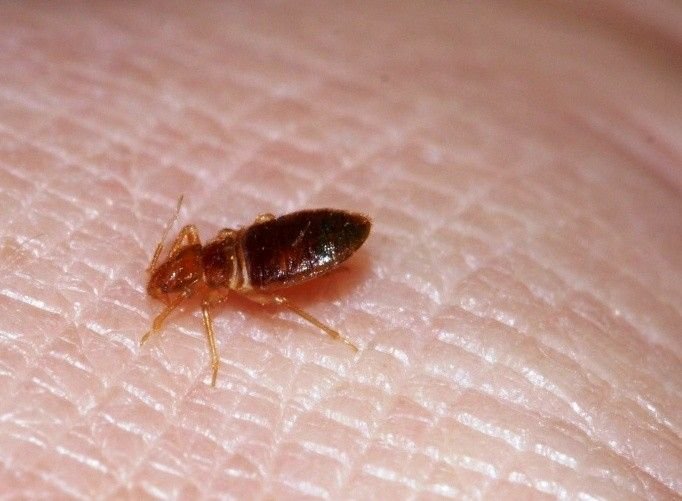 Bed Bugs Removal Tips and Guidelines