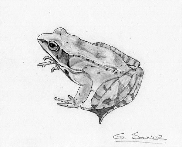 Wood frog drawing