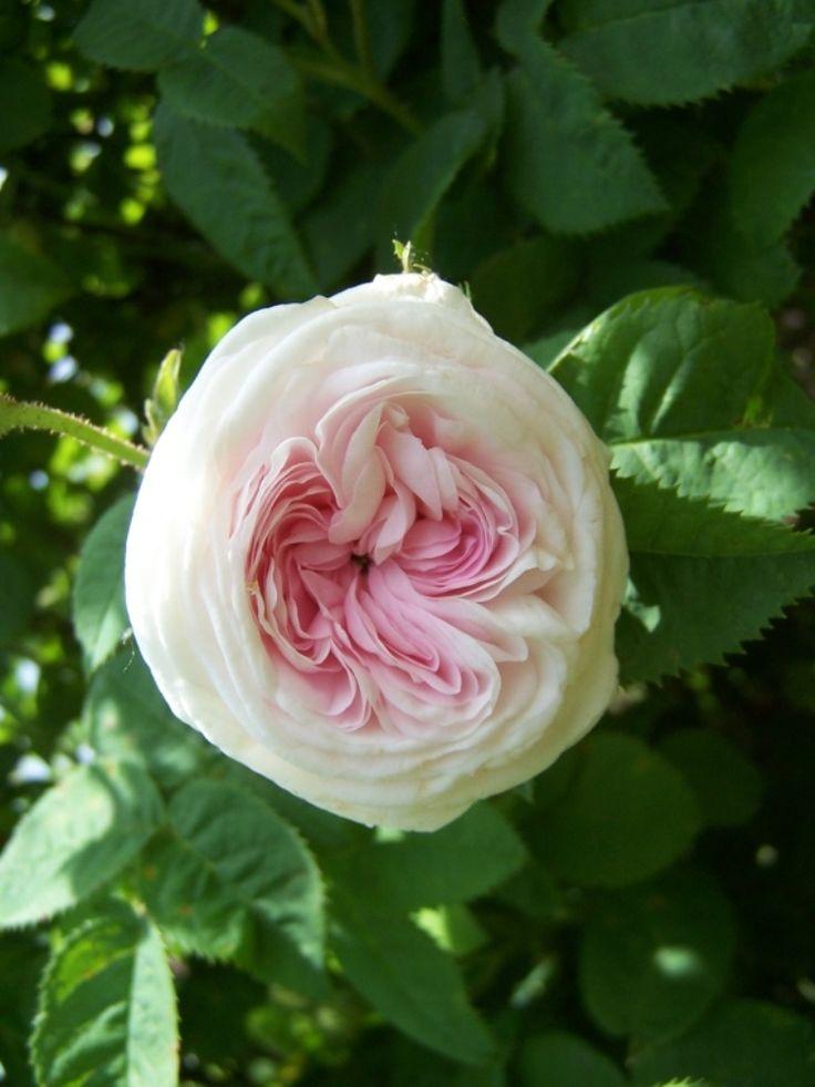 'Cuisse de Nymphe' Alba rose. Dumont de Courset 1802