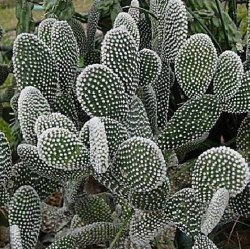 25  best ideas about opuntia microdasys on pinterest