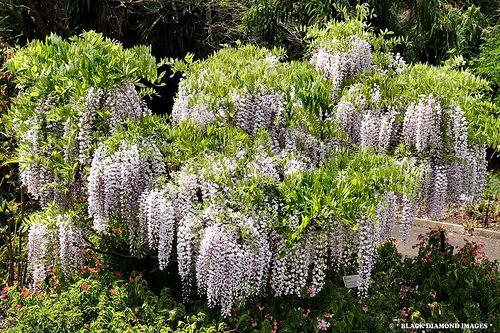 Glicynia (Wisteria) – pnącze o fioletowych, zwisających kwiatach