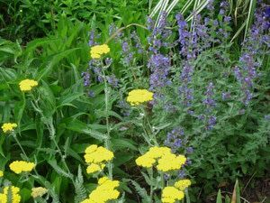 Perennial Gardens: How to Pinch, Cut Back and Thin Perennial Plants: Yarrow and catmint look great together in the garden.