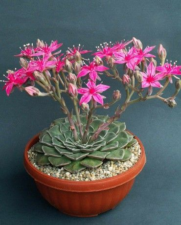 Beautiful flowering succulent