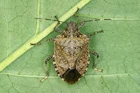 """STINK BUGS!!!!! I hate them and I also hate the convoluted news stories that go with """"how to catch and kill them"""" so here, I got the meat and potatoes for you. 1) aluminum turkey pan 2) 1/2 gallon water 3) Dawn dish detergent 4) desk lamp on the trap at night... BYE BYE STINKY!"""