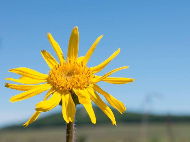 Arnica montana è una pianta perenne alta 20-60 centimetri, riconoscibile principalmente per i suoi fiori di colore giallo-arancio simili a quelli della margherita.