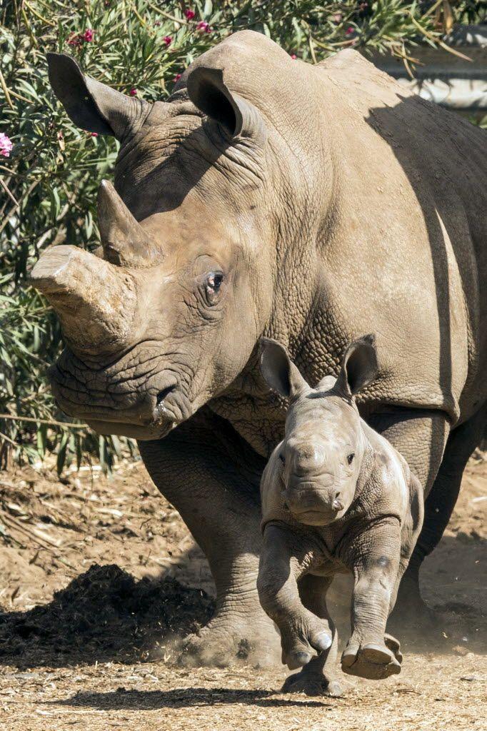 Filhote de rinoceronte branco de apenas três semanas corre diante de sua mãe, Tanda, 21, no Ramat Gan Safari, zoológico em Israel. Foto: Jack Guez/AFP