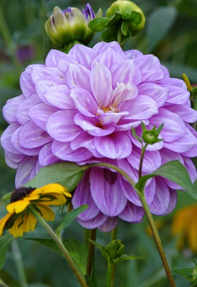 25 best ideas about purple dahlia on pinterest for Flowers that look like dahlias
