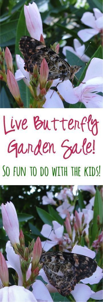Live Butterfly Garden Sale: $12.20!!  Such a fun science project or summer activity to do with the Kids!  I've done these Butterflies twice now with my boys and it was SO much fun! | TheFrugalGirls.com