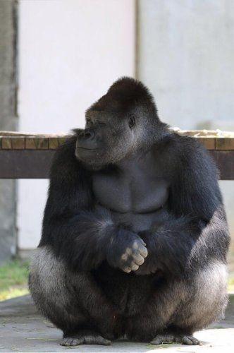 ゴリラ女子が急増中?イケメンゴリラに女子がメロメロになる理由とは? 東山動植物園のオスのニシローランドゴリラ、シャバーニ。数々のメディアやSNSで取り上げられ人気急上昇中のイケメンゴリラが女子に持てる理由を解明していきましょう。