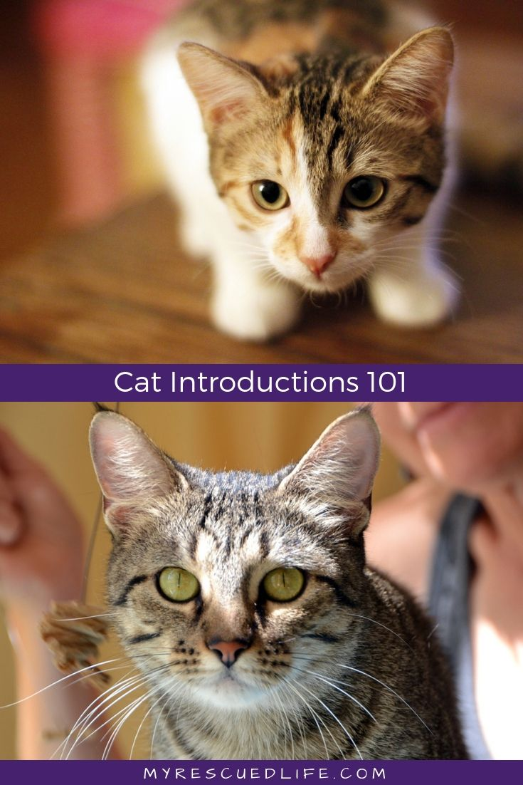 How To Introduce A New Cat Introducing A New Cat Cat Training Happy Animals