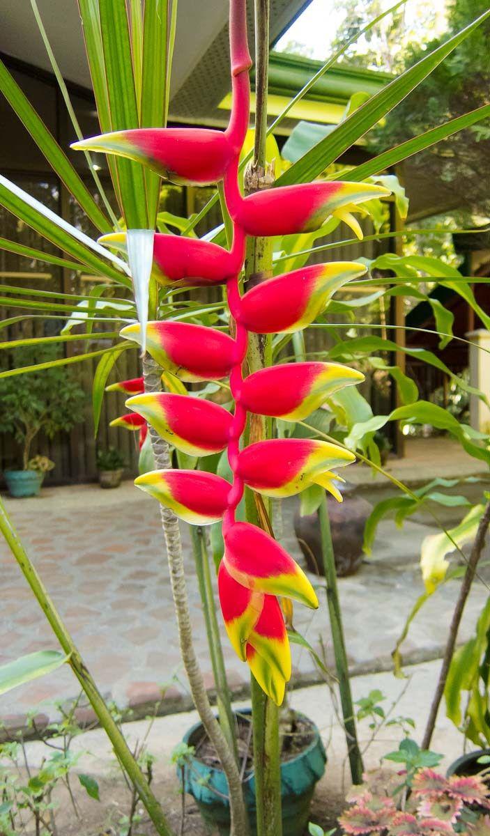 24 best garden  flowering plants  u0026trees in the philippines images on pinterest